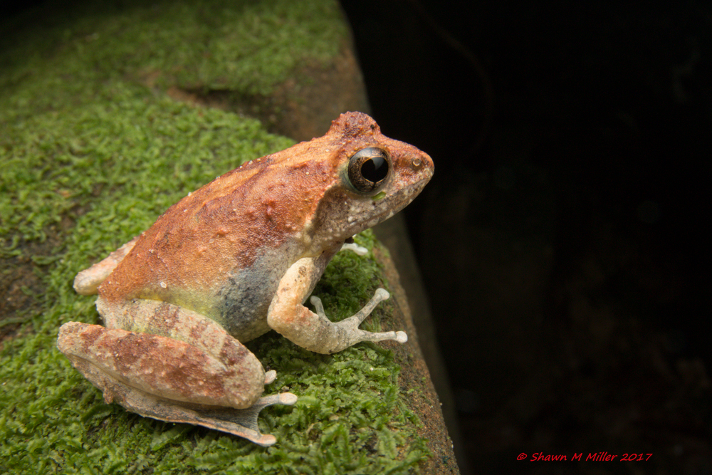 Kajika frog -Iriomote Island