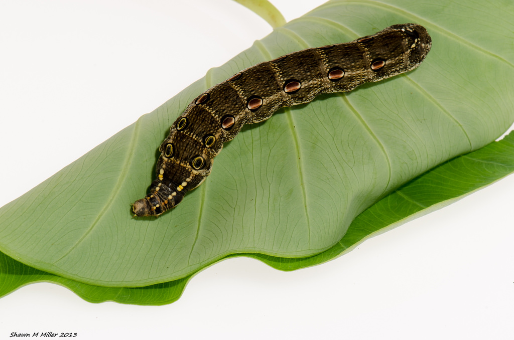 Impatiens Hawk Moth (Theretra oldenlandiae) larvae