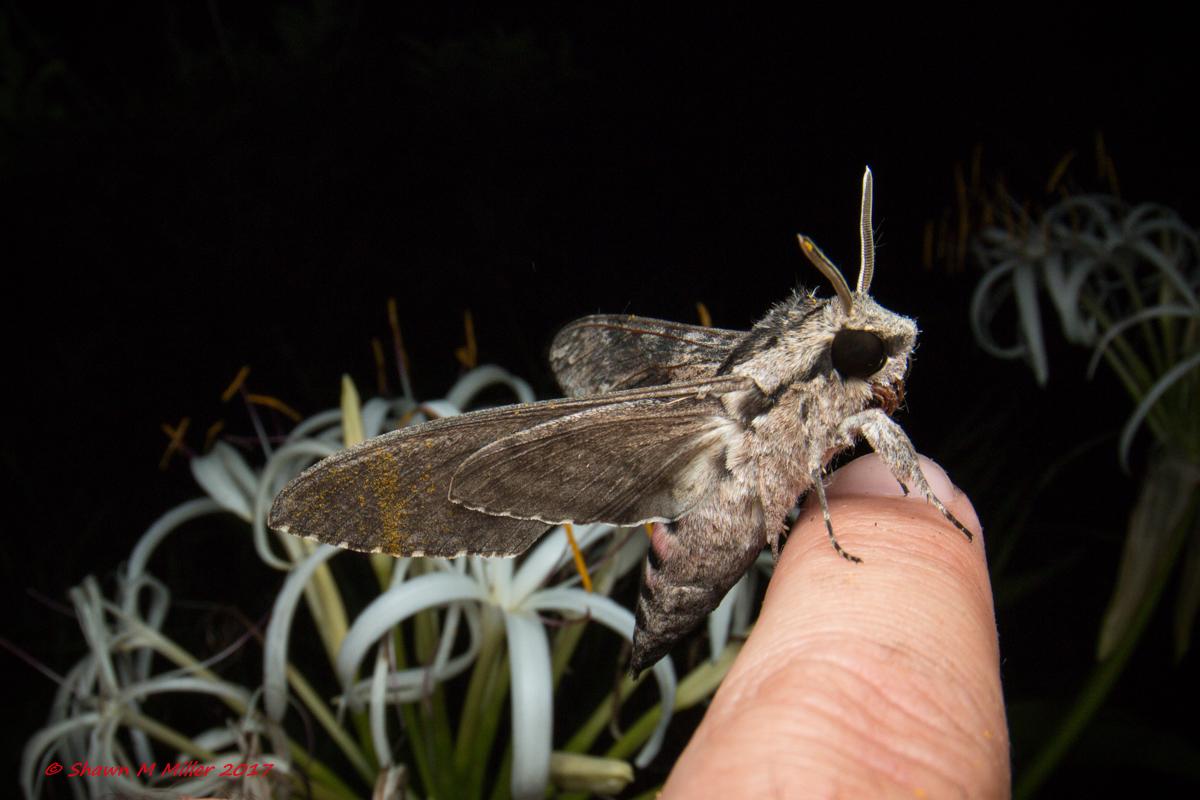 Convolvulus hawk moth