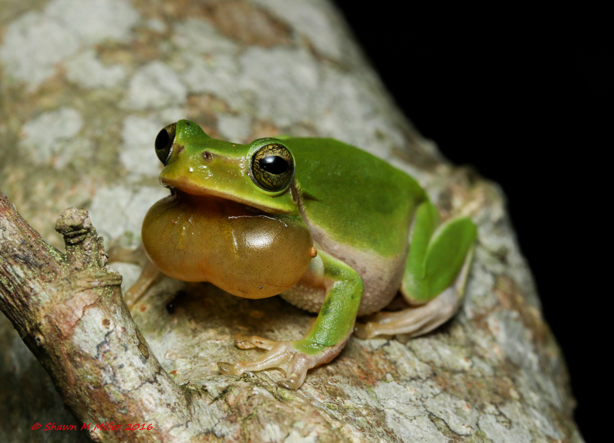The Hallowell's tree frog