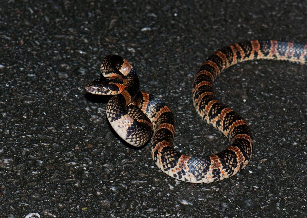 Akamata - Ryukyu odd-tooth snake