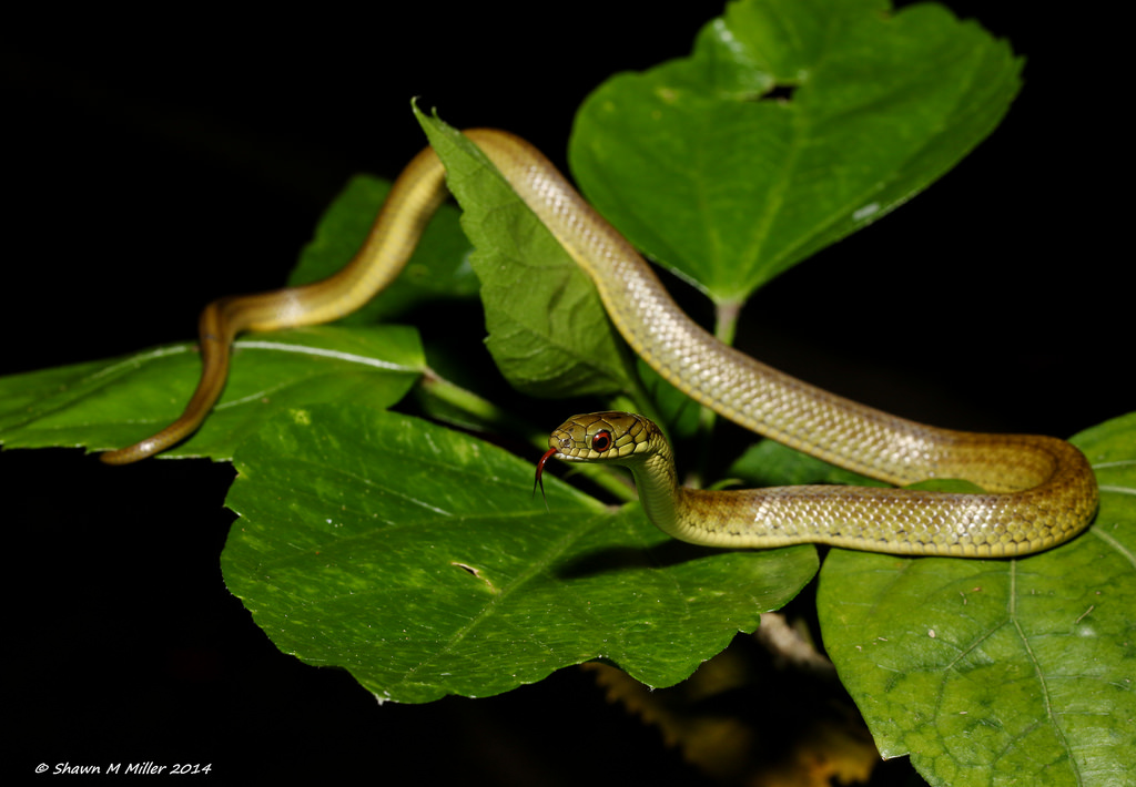 Ryukyu Green snake (Cyclophiops semicaricartus)