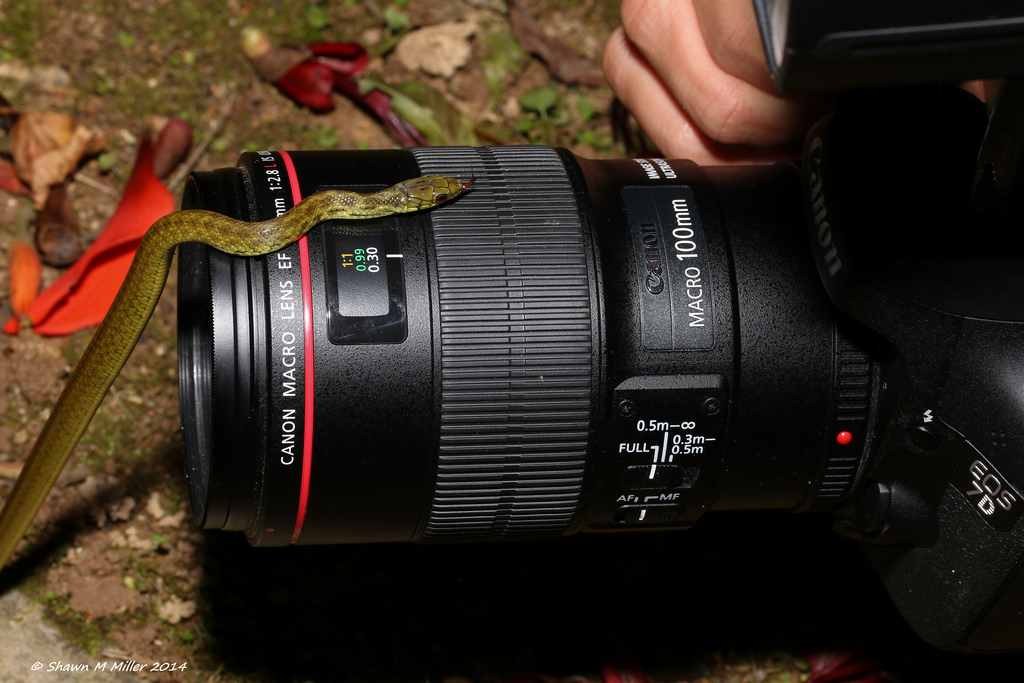 Ryukyu snake on the Canon 100mm macro lens