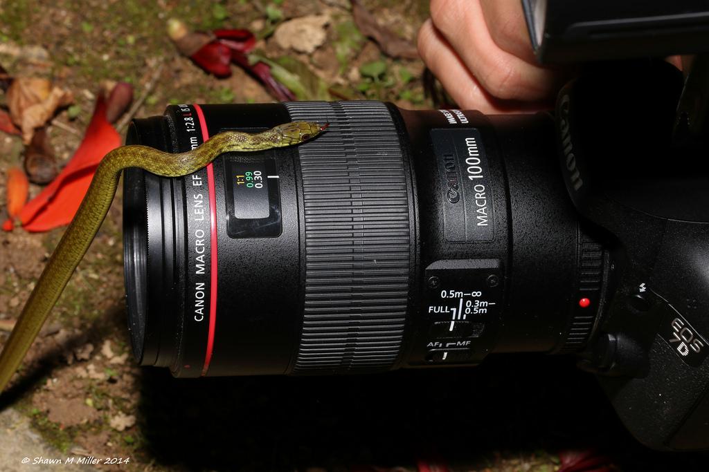 Ryukyu snake on the Canon 100mm macro lens