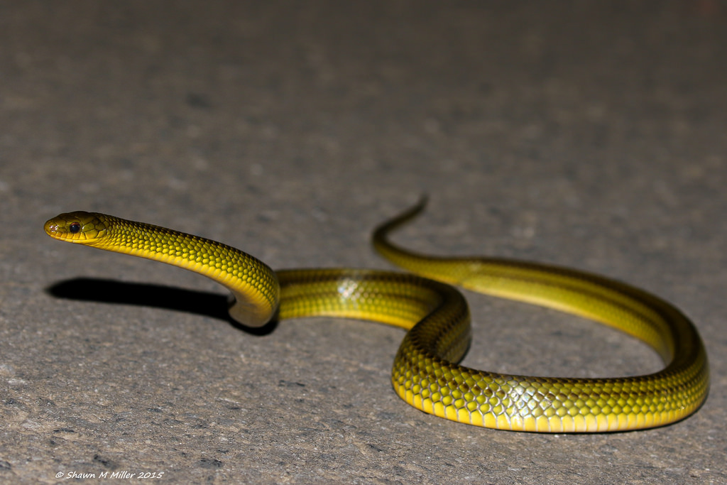 Ryukyu Green snake (Cyclophiops semicaricartus)