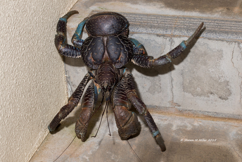 Crabzilla -Okinawa