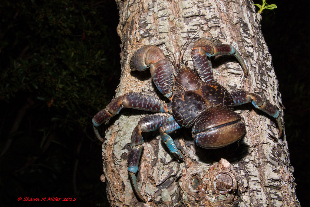 The Climber- robber crab
