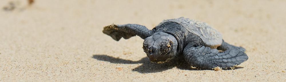 Sea turtle- endangered species Okinawa