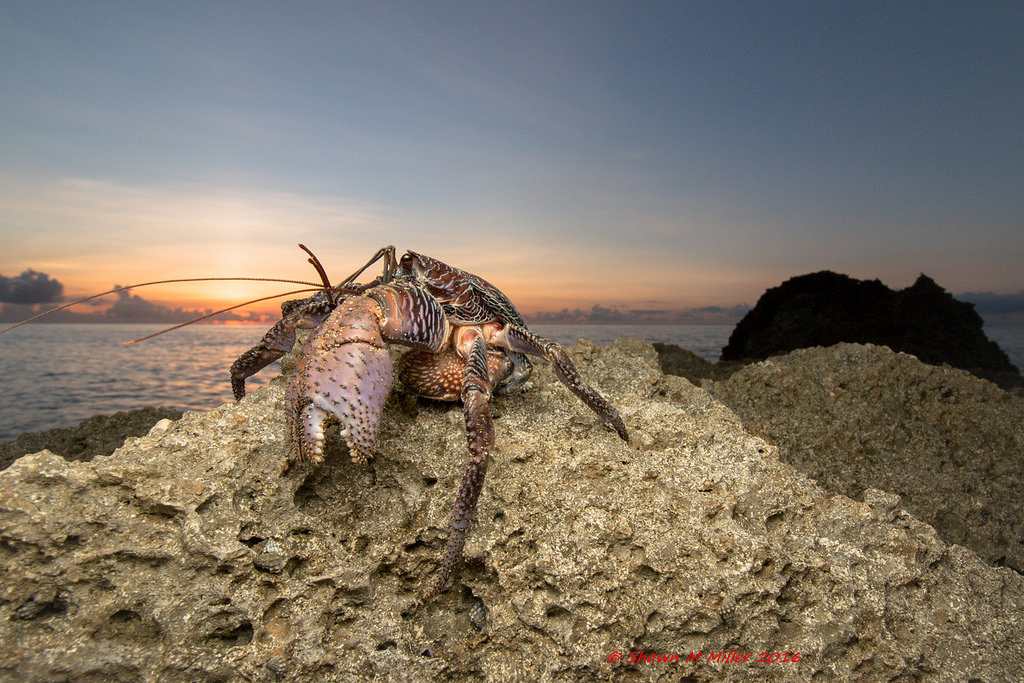 Coconut crab - Onna village