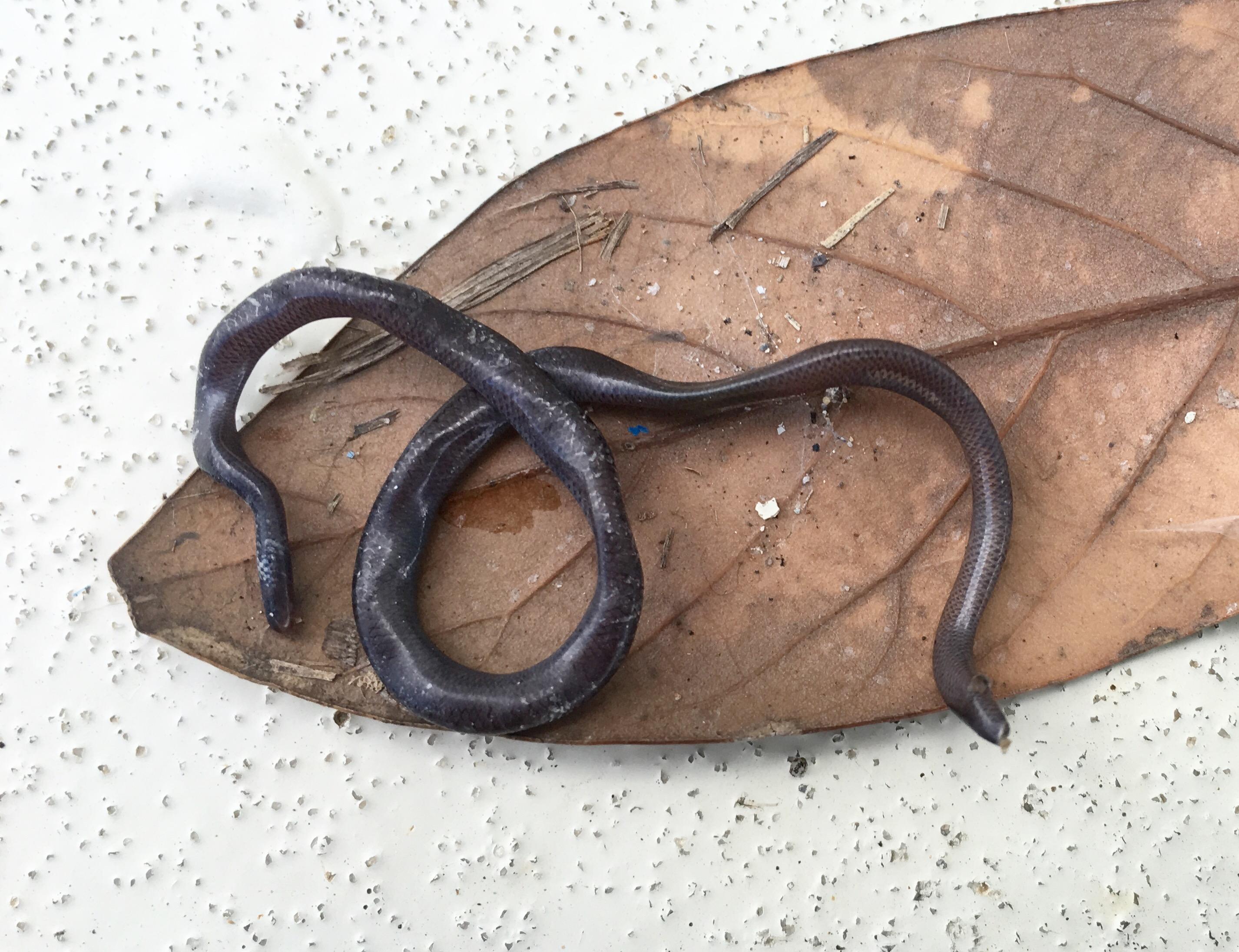 Blind snake -dried from summer heat