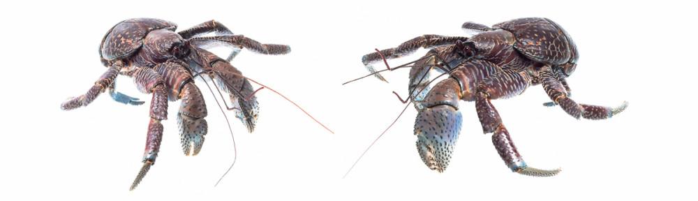 Coconut crabs -Okinawa