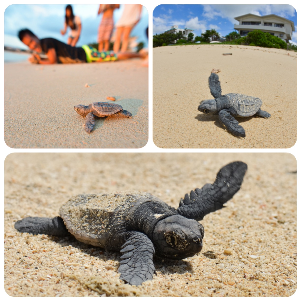 Baby sea turtles leaving the nest