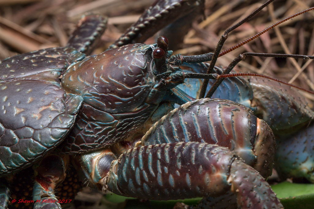 Coconut crab- Okinawa