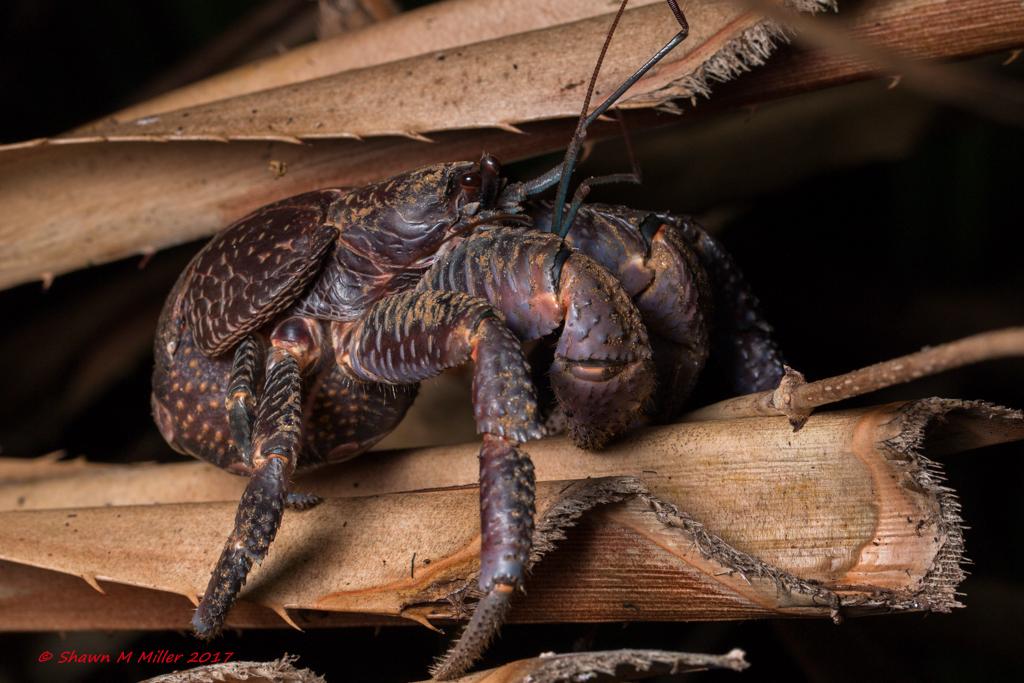 Juvenile coconut crab - Okinawa