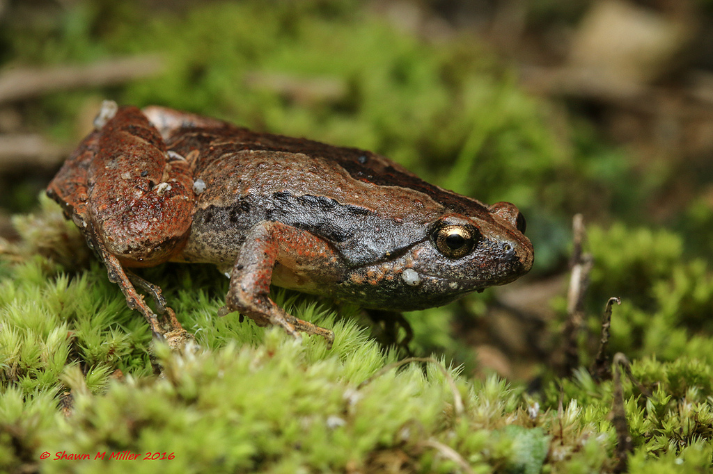 Ornate narrow mouth frog -Okinawa