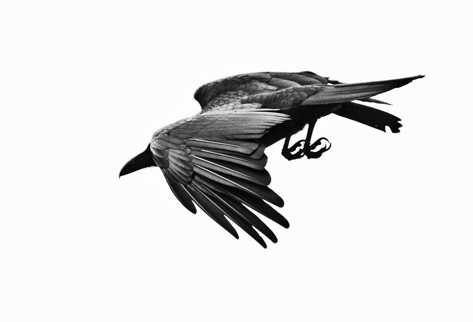 Jungle crow -Okinawa Japan