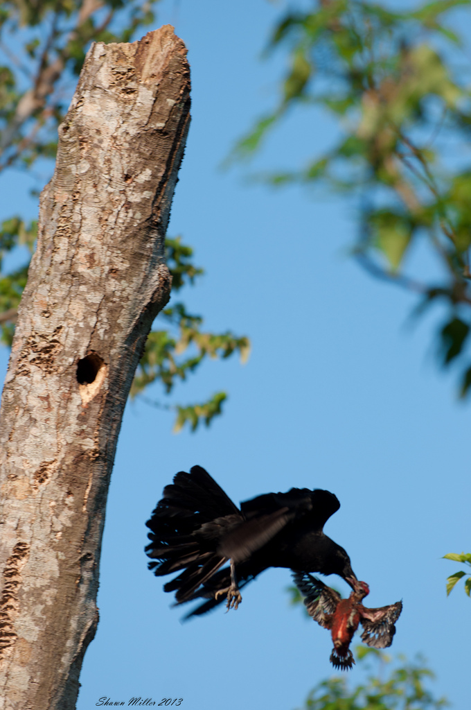 Crow taking the okinawa woodpecker from the nest