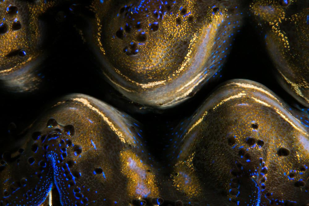 Crocea clam (Tridacna Crocea)
