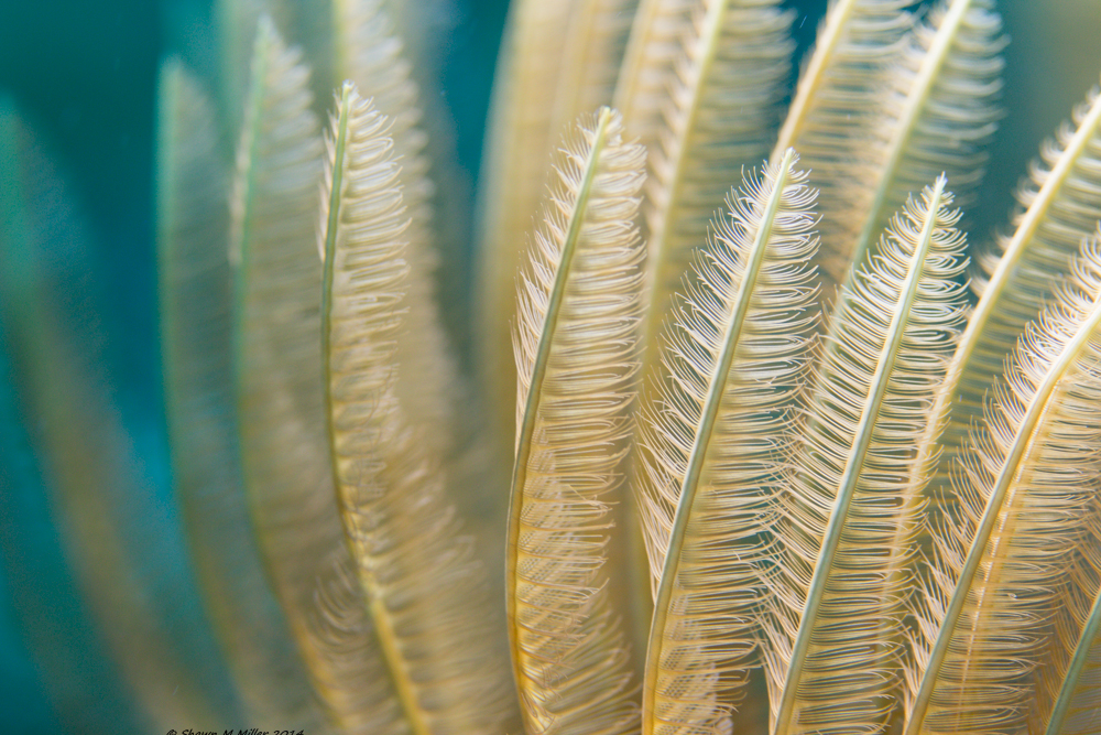 Feather duster worm (Sabellastarte sanctijosephi)