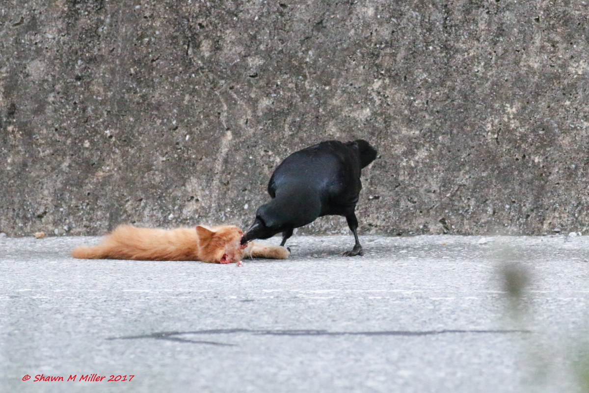 Crow feeding on a cat