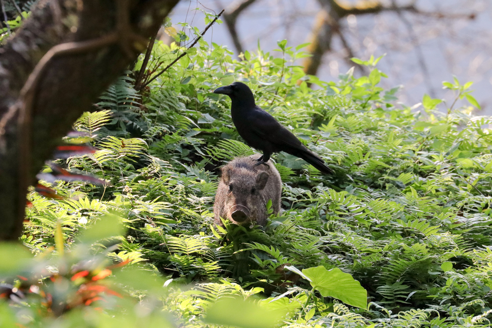 Jungle crow and the Boar