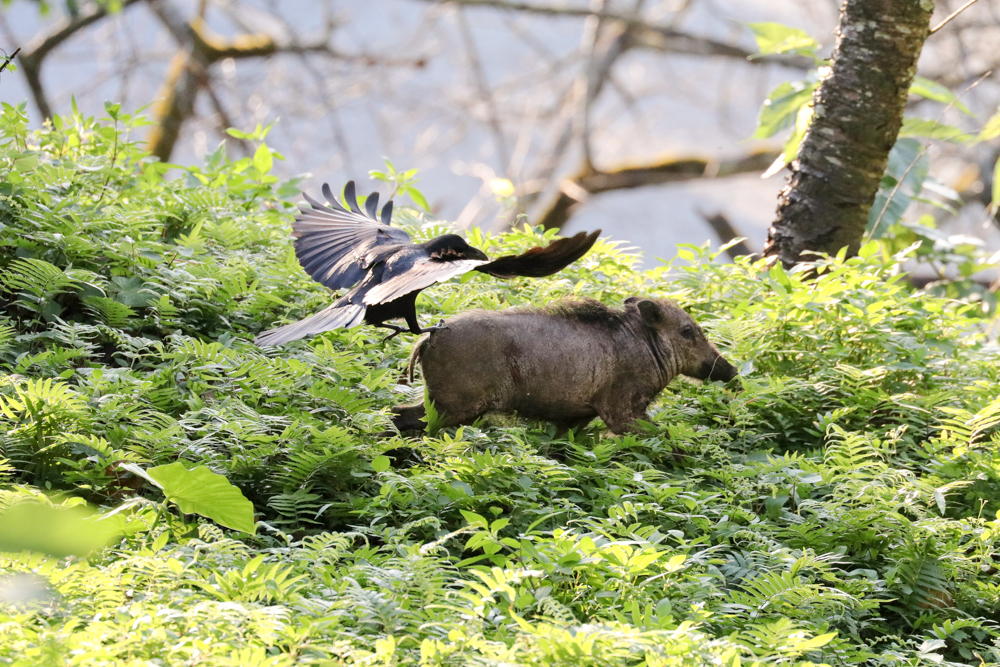 Jungle crow and the Wild Boar