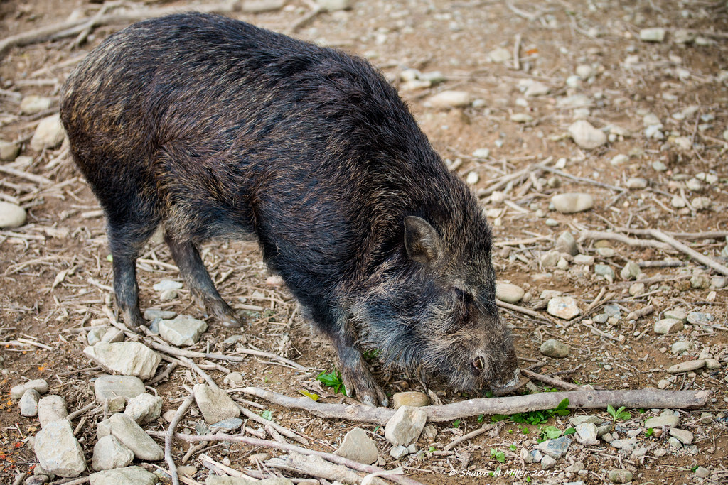 Ryukyu wild boar (sus scrofa) This is a common wild boar found in Okinawa,