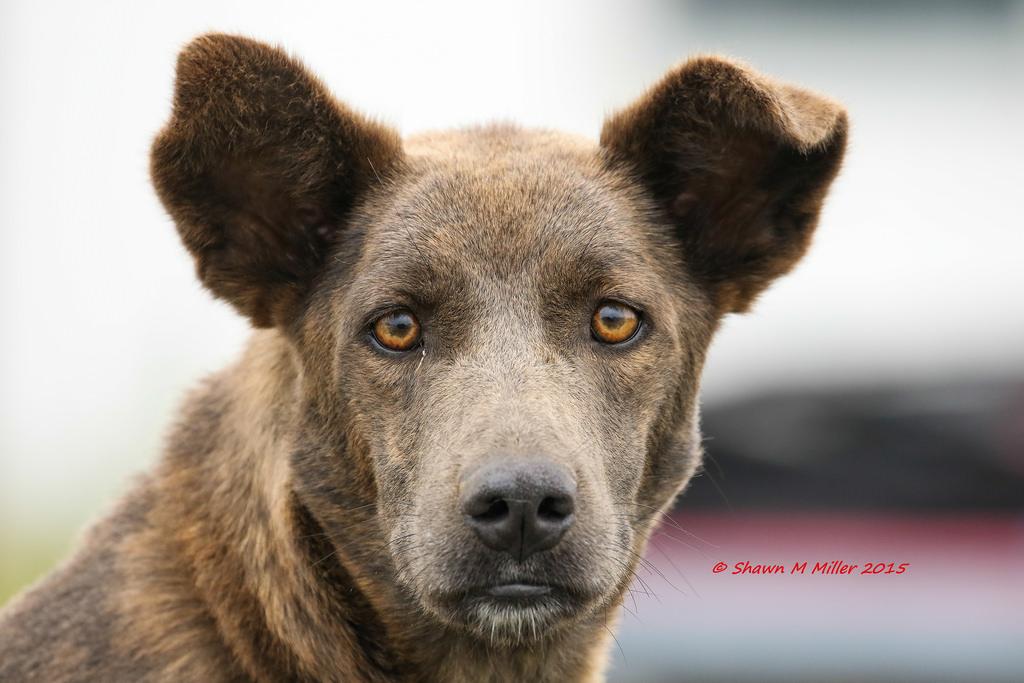 Okinawan dog