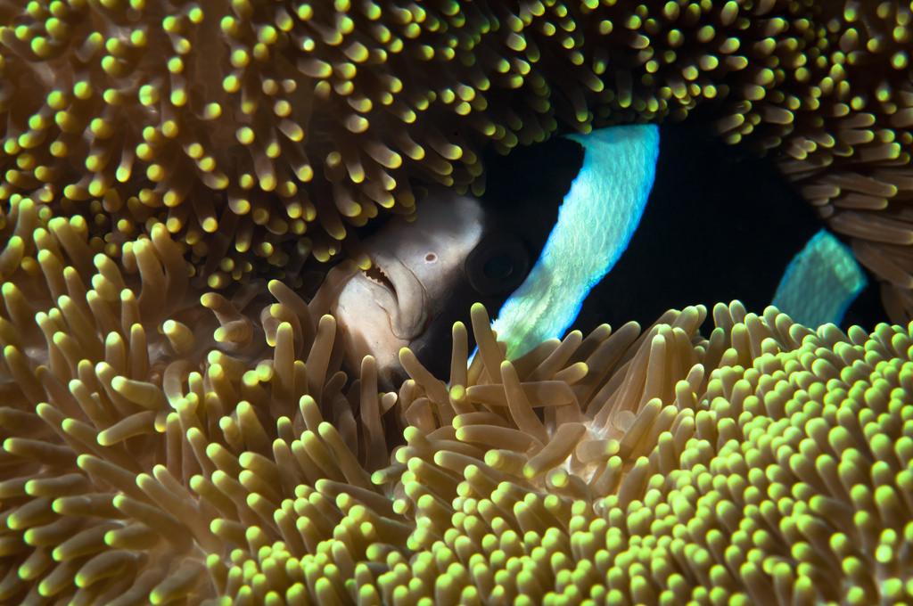 black Clark's anemonefish ( Amphiprion clarkii )