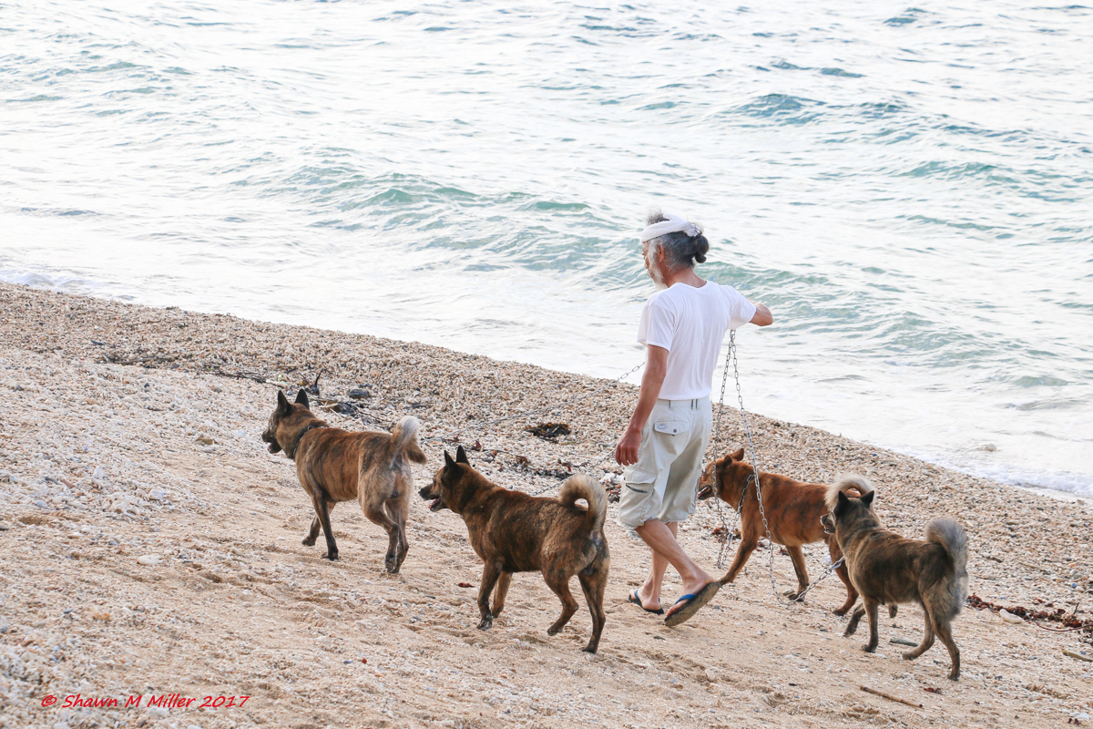 Master walking his Ryukyu Dogs