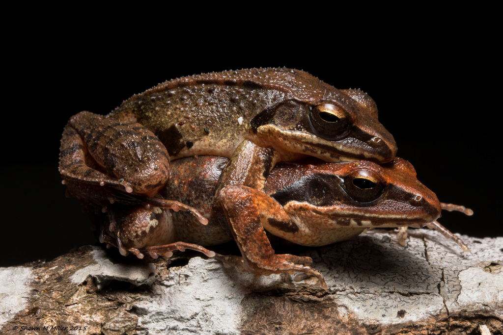 Ryukyu Brown frog mating