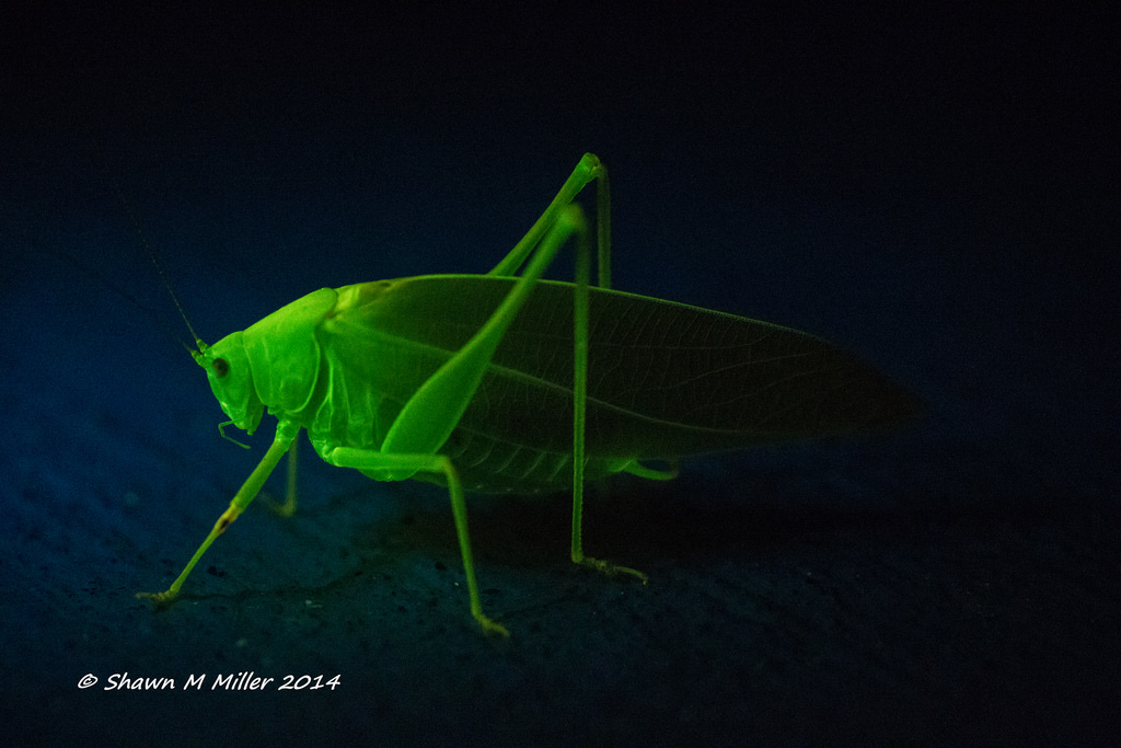 Katydid under blue light