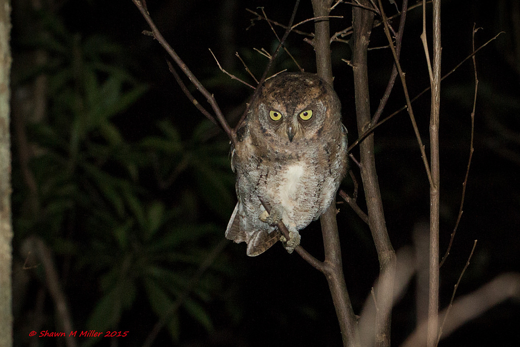 Ryukyu Scops Owl -Yanbaru