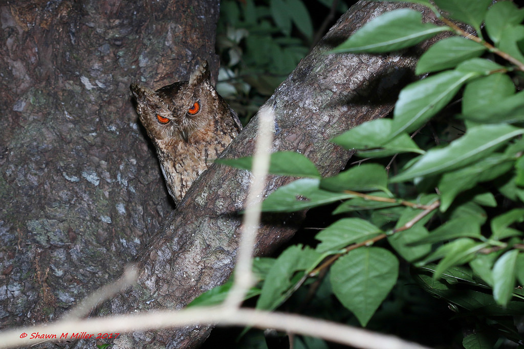 Collard Scops-owl - Yanbaru forest