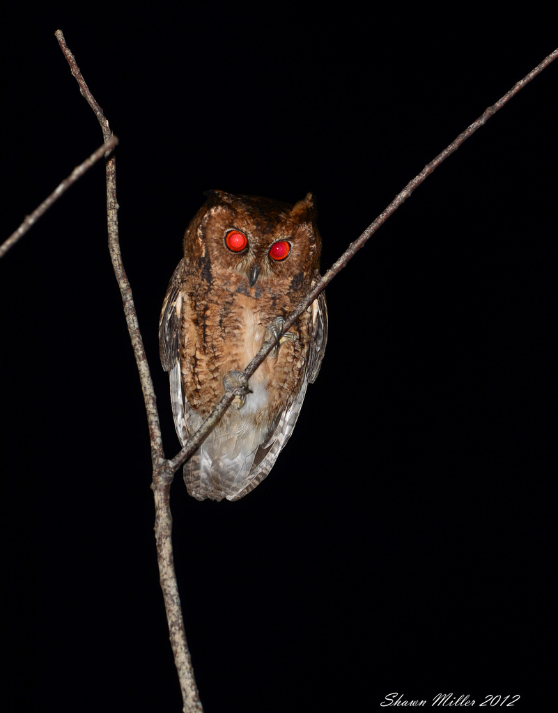 Collard Scops-owl - Okuma resort