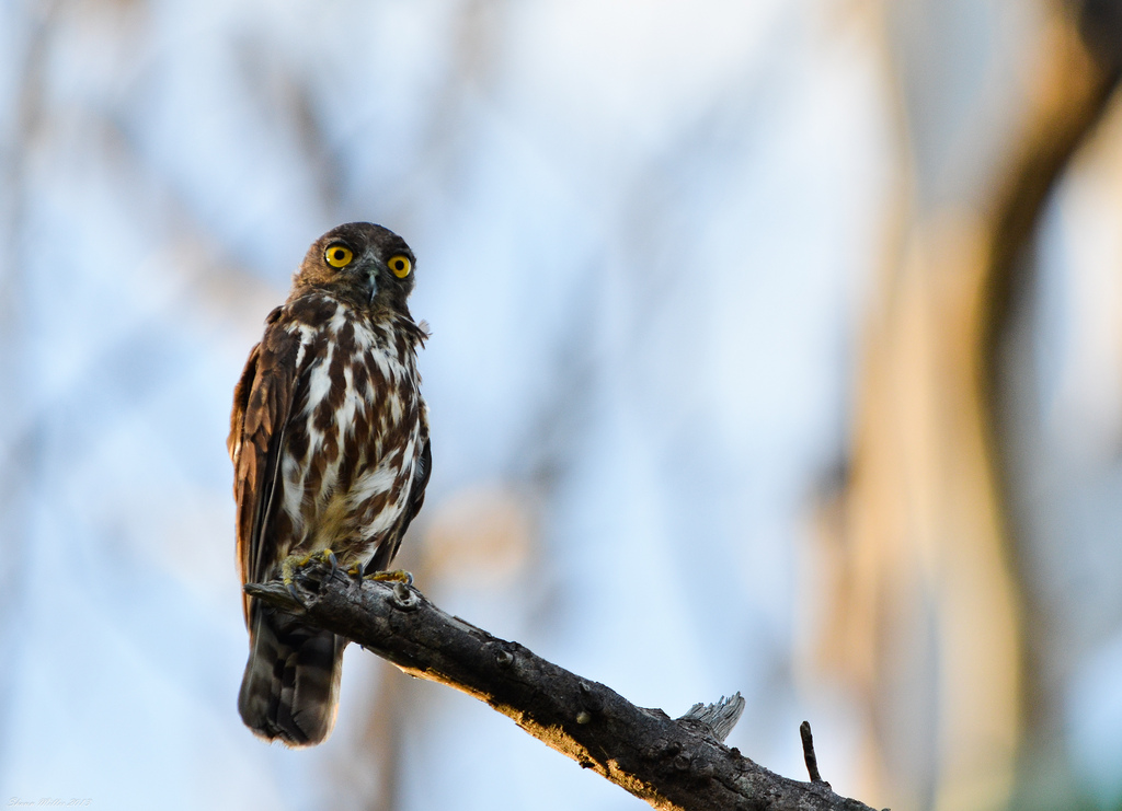 Brown hawk owl - Izena Island