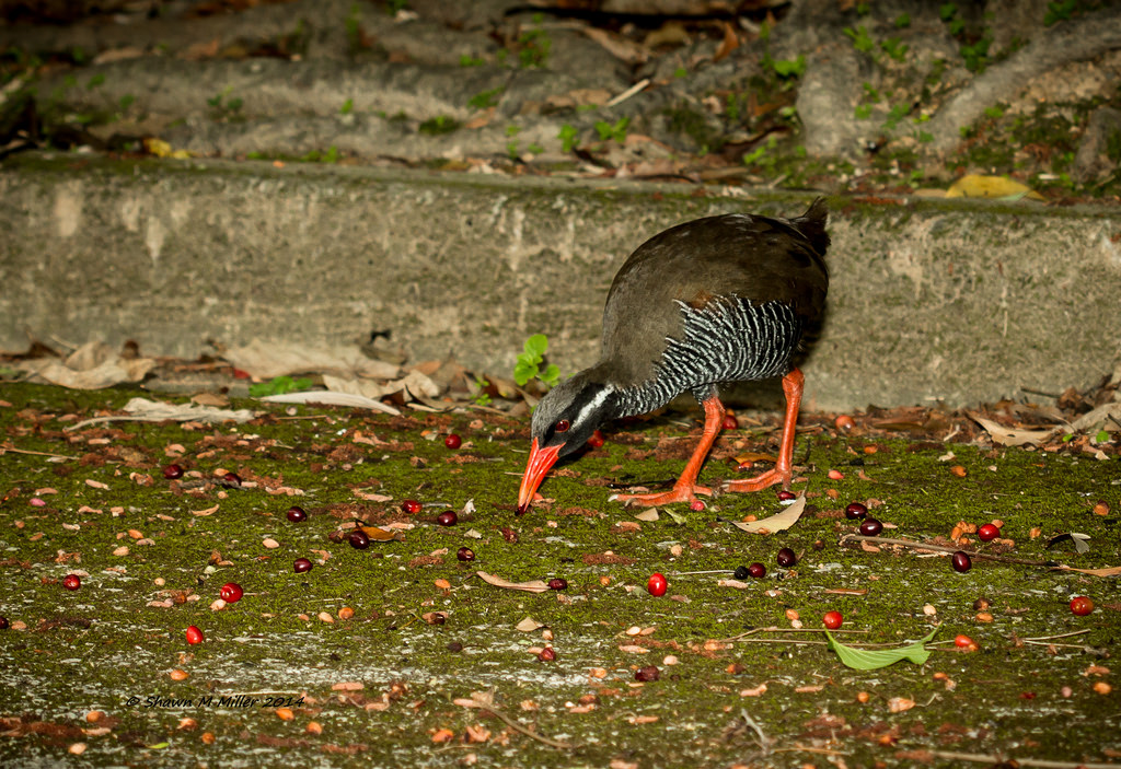 Okinawa rail feeding on the sweet fruit