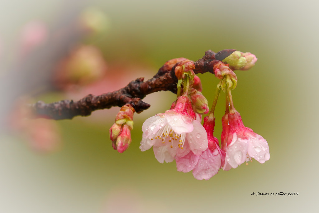 Cherry blossoms -Kume Island